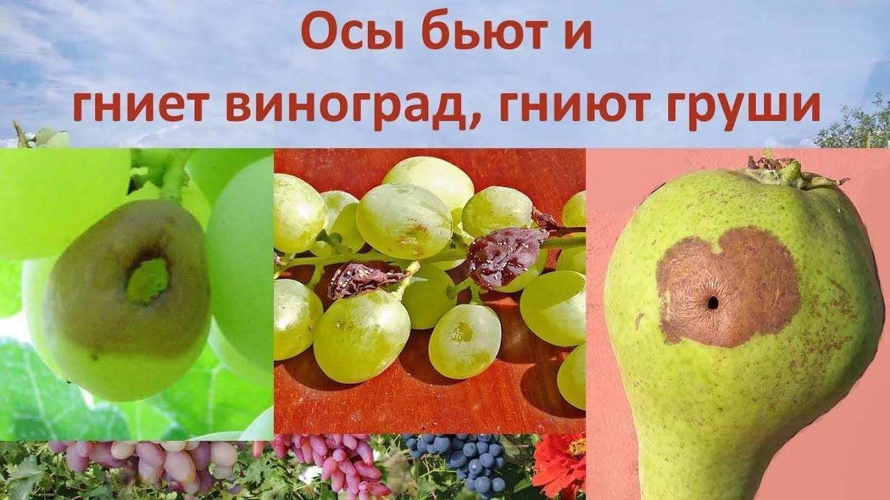 Почему гниют плоды груши прямо на дереве и что с этим делать