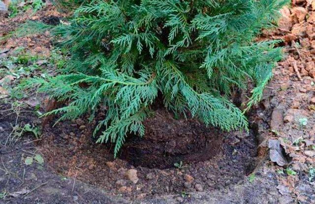 Можжевельник скальный «скайрокет»: описание и выращивание