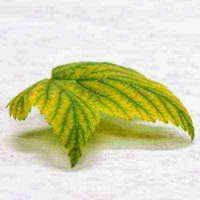 Почему у гортензии бледные листья — что делать