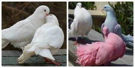 Чем кормить голубей в домашних условиях: особенности рациона