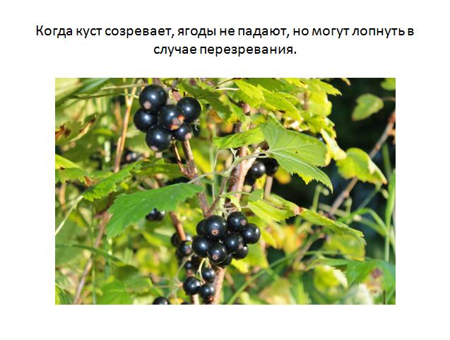 Сорт чёрной смородины ядрёная – гигантские ягоды на вашем садовом участке