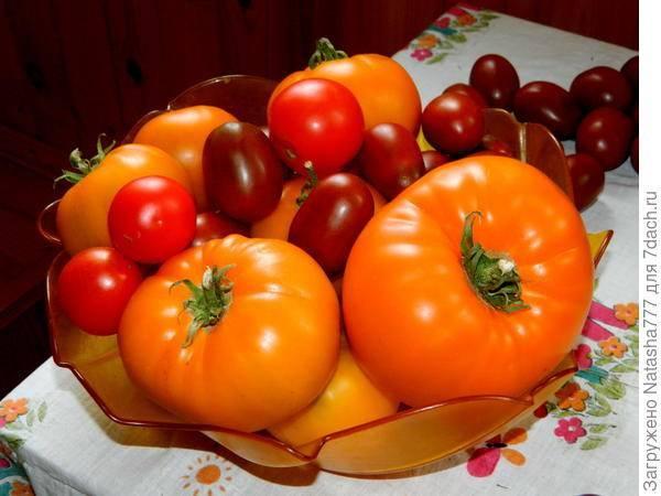 Сорт томата «груша красная»: описание, характеристика, посев на рассаду, подкормка, урожайность, фото, видео и самые распространенные болезни томатов