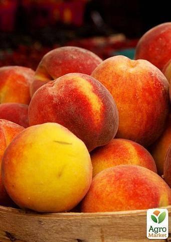 Лучшие самоплодные и морозоустойчивые сорта персиков выращиваемые в россии
