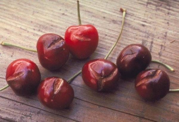 Почему растрескивается ствол черешни и ягоды