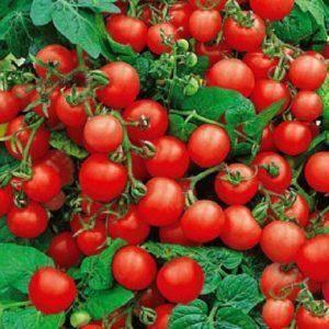 Описание сорта томата красная шапочка и особенности ухода за ним