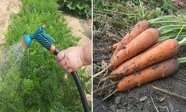 Характеристика и описание сорта моркови королева осени