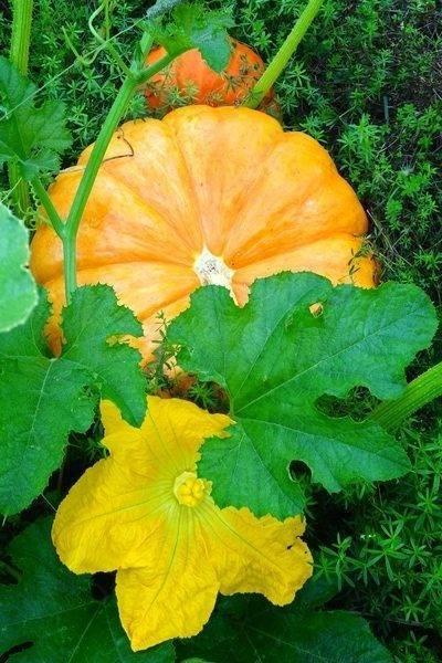 Почему желтеют листья у бальзамина комнатного: его особенности, причины болезни, что делать, если они опадают и вянут, а также чем можно лечить?