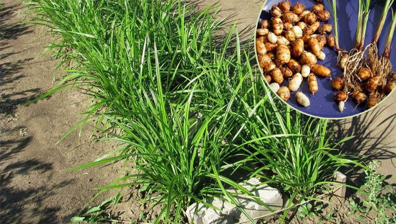 Земляной орех чуфа: полезные свойства и вред | польза и вред