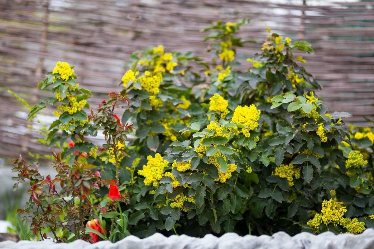 Магония: выращивание в домашних условиях и в саду
