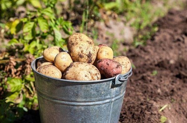 Когда можно копать молодую картошку: как определить готовность клубней