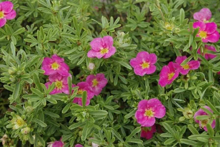 Лапчатка «лавли пинк» (31 фото): описание лапчатки кустарниковой lovely pink, посадка и уход, размножение