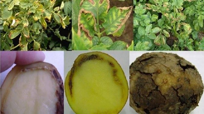 Болезни картофеля — описание и фото
