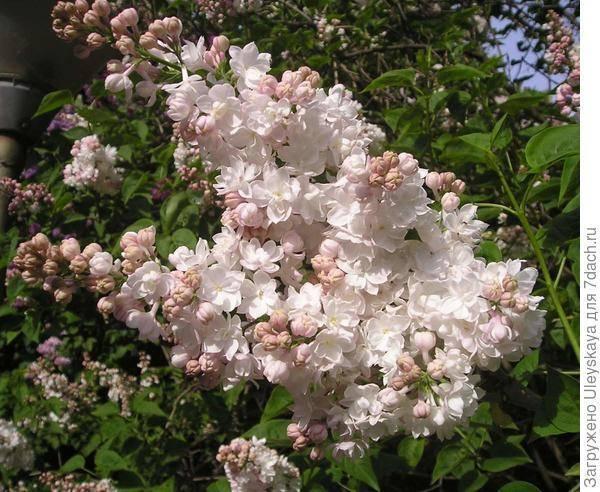 Красавица москвы (сорт сирени) википедия