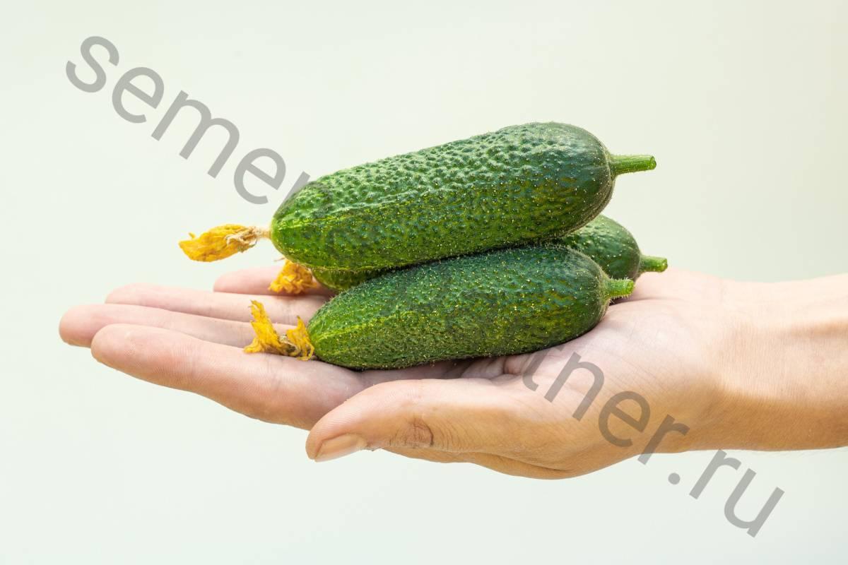 Огурцы сорта «салинас f1»: голландский пучковой гибрид