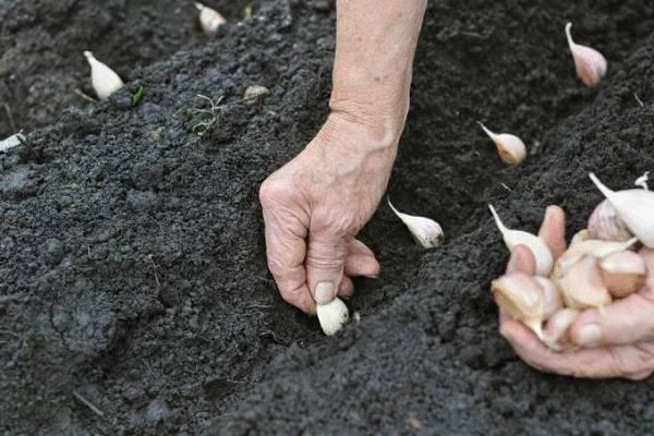 Чеснок озимый «любаша»: описание, агротехника выращивания