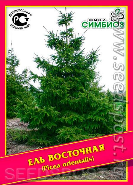 Сербская ель «карел» (16 фото): описание ели karel, применение в ландшафтном дизайне, посадка и уход
