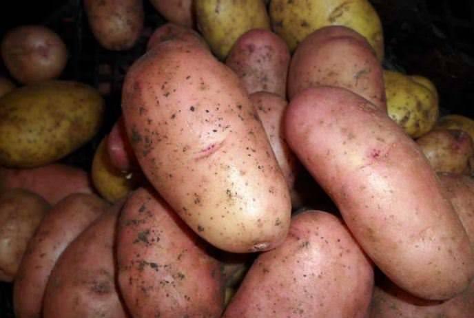Картофель волат — описание сорта, фото, отзывы, посадка и уход
