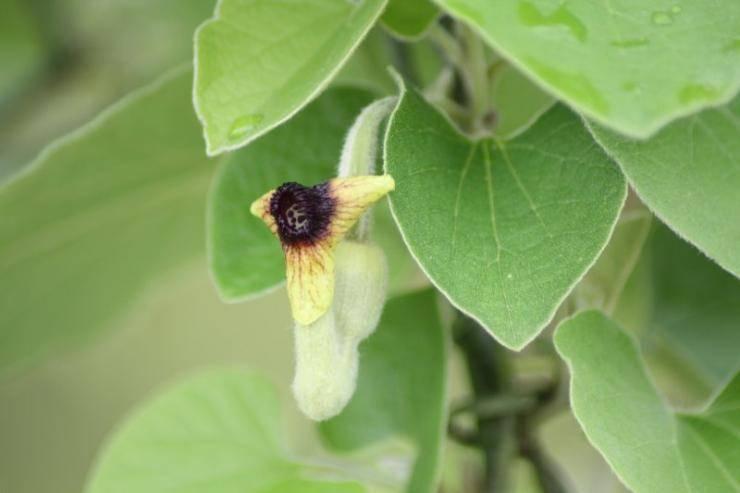 Кирказон маньчжурский — «универсальный лекарь. посадка и выращивание кирказона