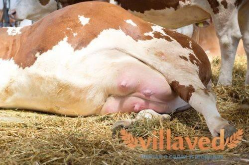 Мастит у коров: лечение препаратами и мазями, причины и симптомы, также что это такое, как бороться с недугом в домашних условиях, каковы признаки скрытого вида?