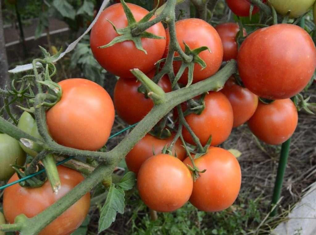 Обзор новых сортов и гибридов томатов сезона 2016-2017