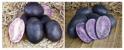 Зарекомендовавший себя как самый продуктивный и стойкий картофель — магаданский: описание сорта и отзывы