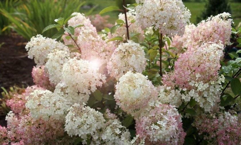 Сорта гортензии и ее виды для российских садов
