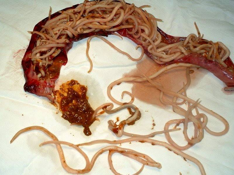 Причины появления красных пятен при болезнях свиней, что делать и как лечить
