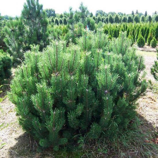 Сосна гималайская: описание, сорта и выращивание
