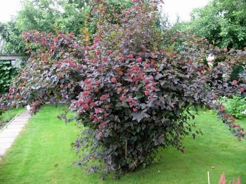Декоративные кустарники спирея - spiraea l. цветущие кустарники для сада - спирея.