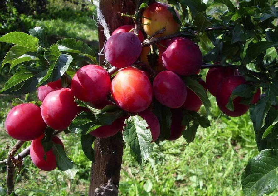 Выбираем качественные саженцы сливы – получаем отличный урожай