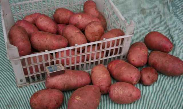 Картофель ред соня описание сорта
