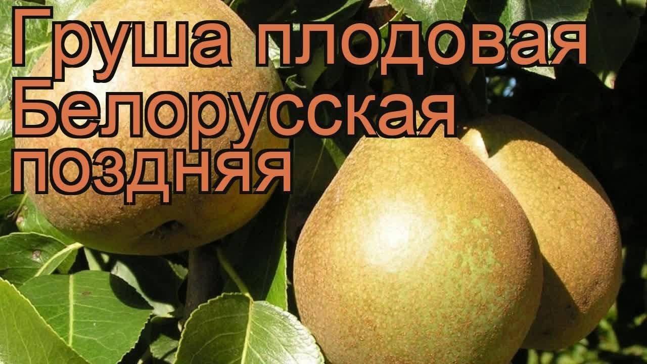 """Груша """"белорусская поздняя"""""""