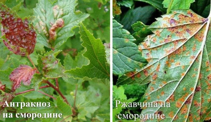 У смородины скручиваются листья: что делать