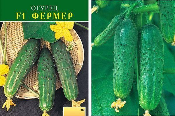Бьерн f1 – огурец голландской селекции. характеристика культуры, мнения садоводов