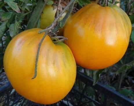 Томат король сибири: отзывы, фото, урожайность