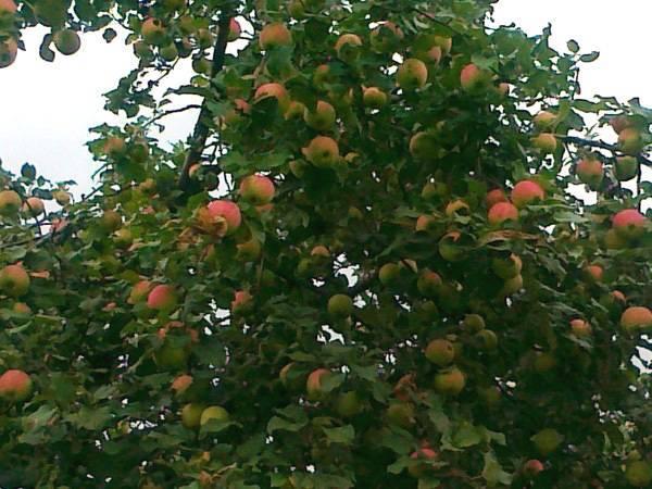 Секреты успешного выращивания яблони «башкирская красавица»