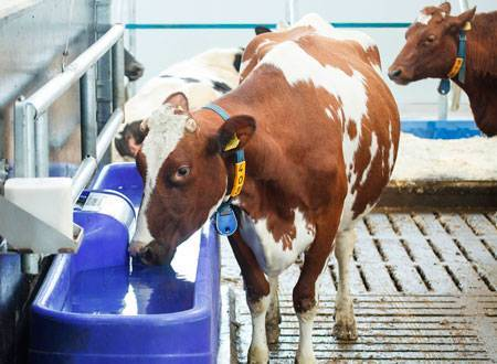 Болезни коров и их симптомы