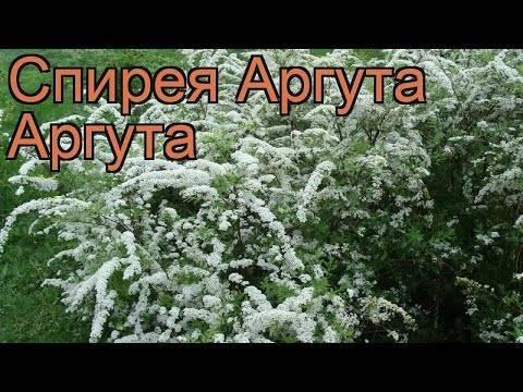 Спирея Аргута: описание с фото