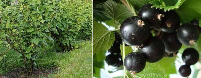 Чёрная смородина шаровидная: основные характеристики сорта