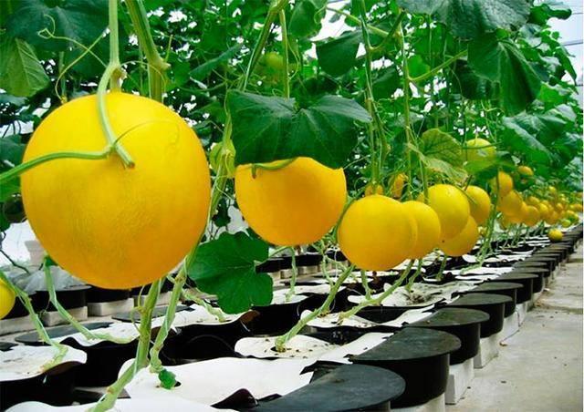 Как вырастить арбузы и дыни в теплице – все работы от посева до сбора урожая