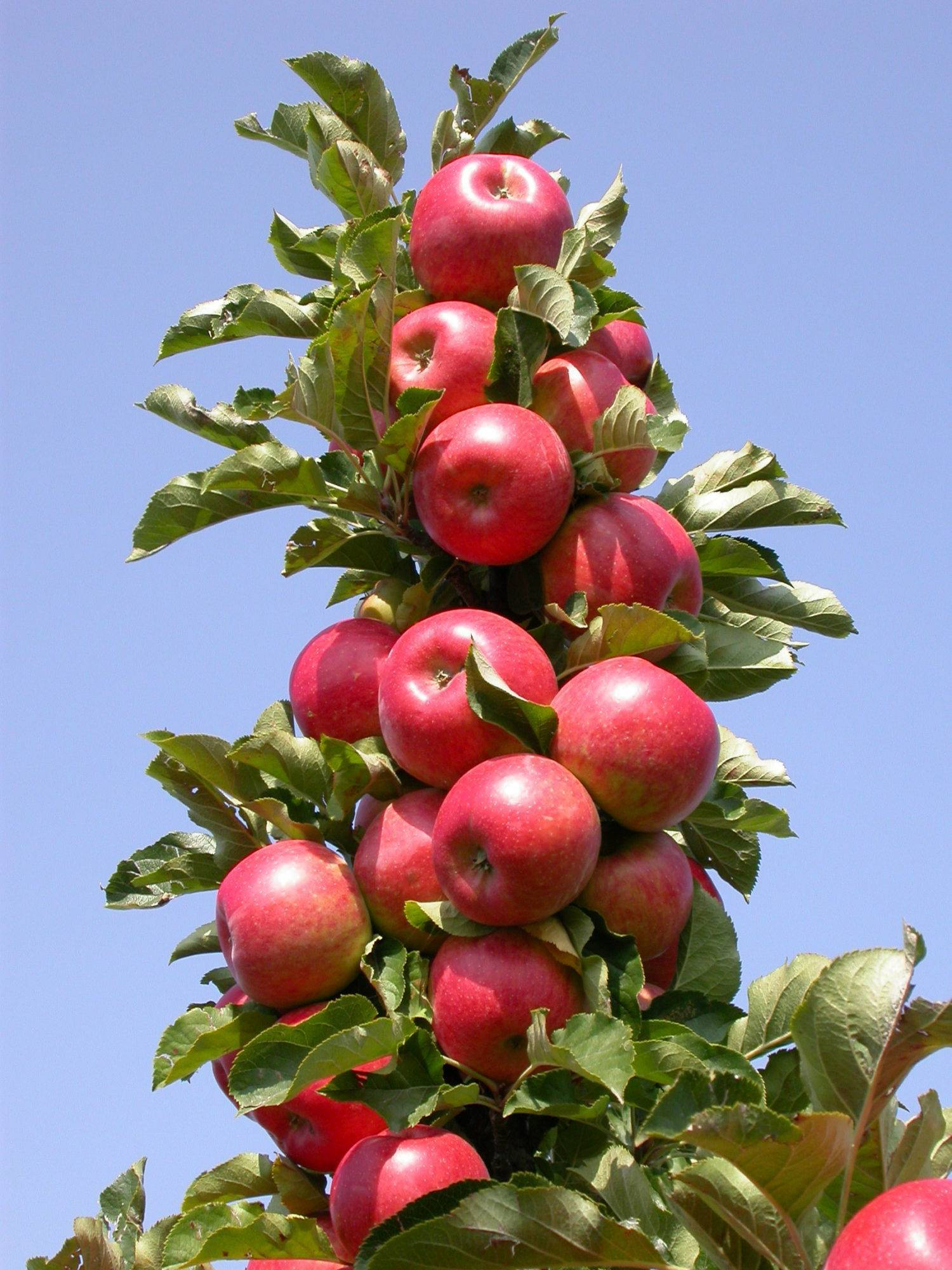 Карликовая яблоня братчуд (брат чудного)
