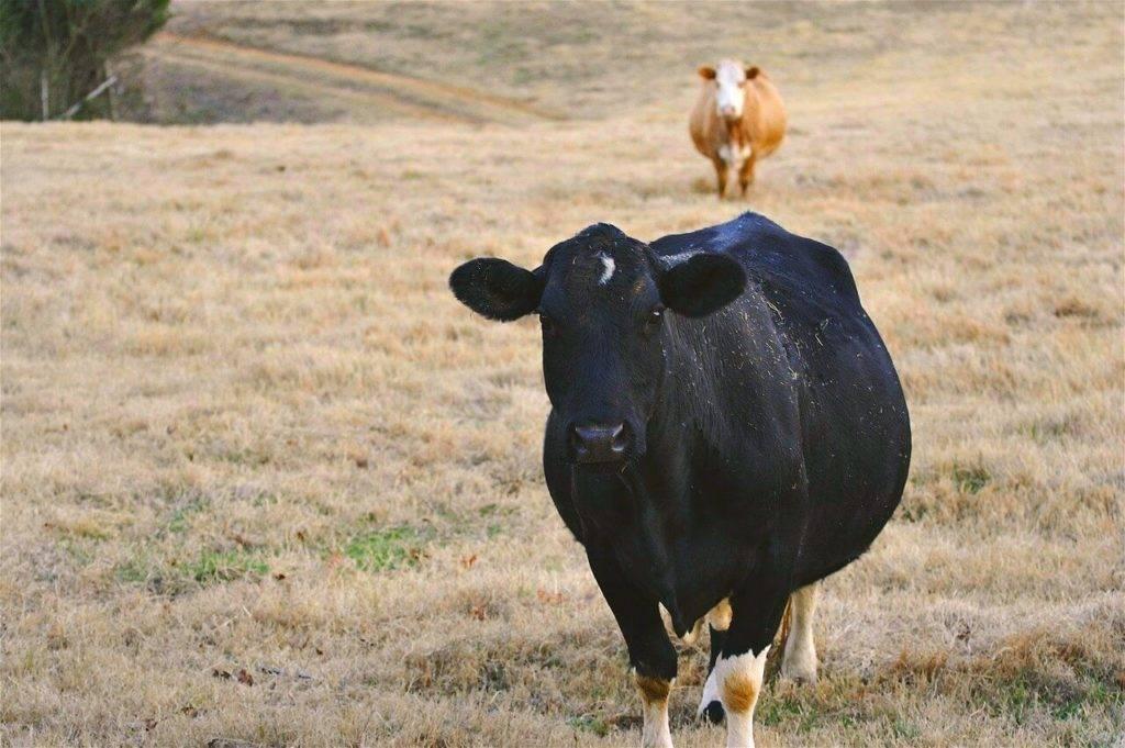 Выкидыш у коровы на позднем сроке
