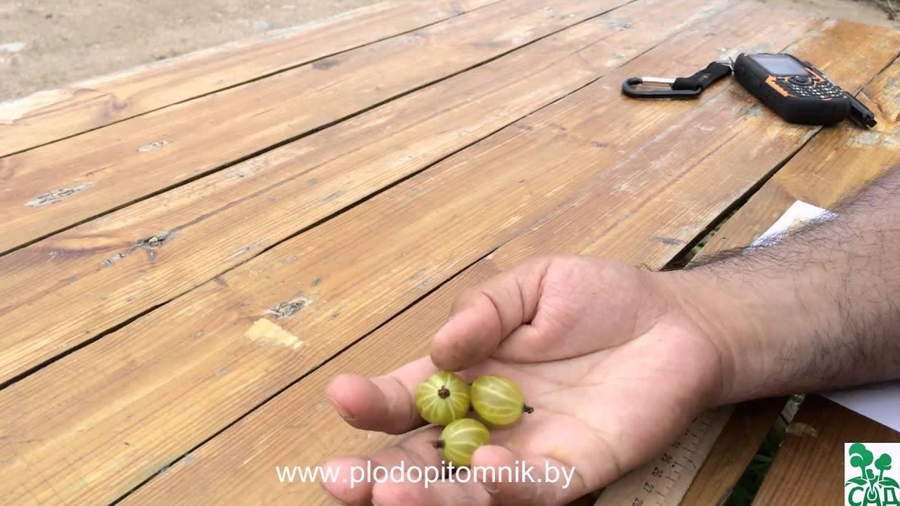 Лучшие сорта крыжовника - сладкие и крупные, бесшовные и устойчивые к болезням