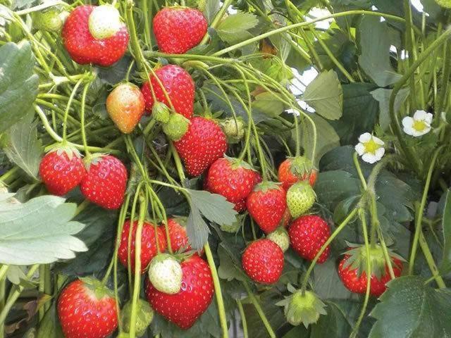 Характеристика и особенности выращивания клубники сорта максим
