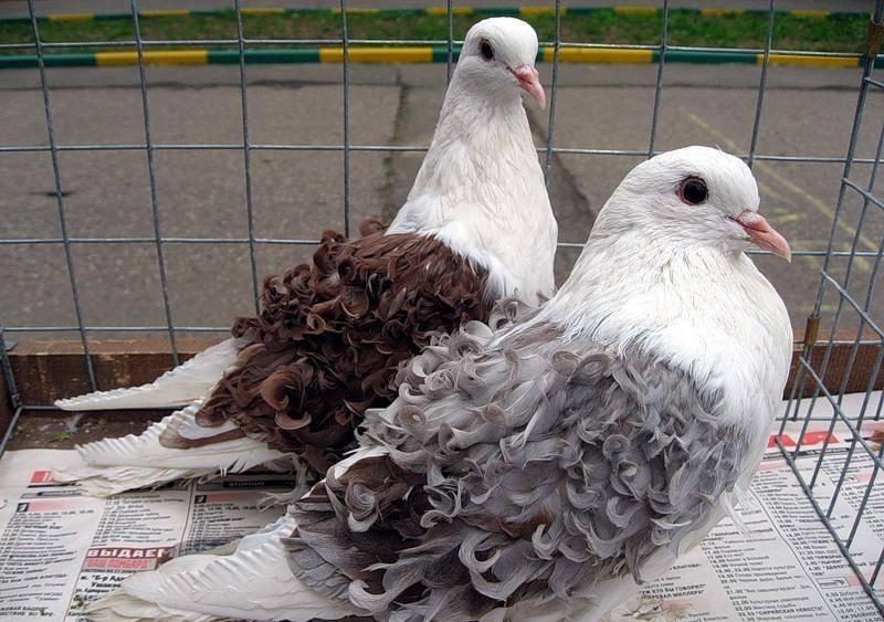Породы голубей — названия, описание, фотографии