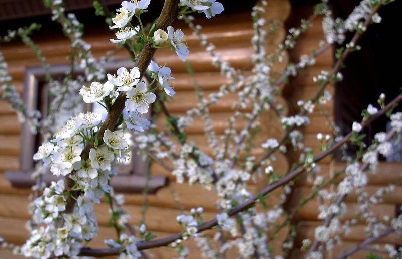 Как бороться с болезнями и вредителями сливового дерева