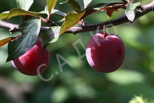 Алыча лама: описание и характеристика сорта с красными листьями