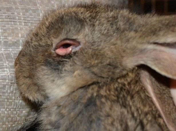 Заболевания глаз у кроликов