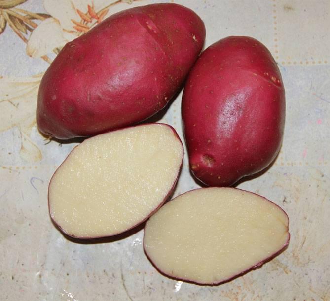 Картофель рокко: 8 особенностей и 10 советов по выращиванию и хранению