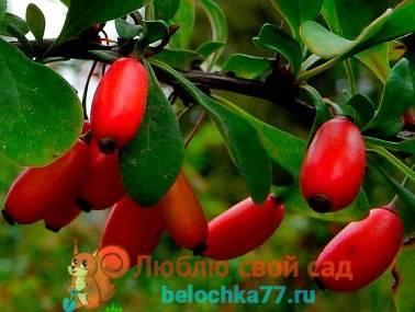 Род berberis l - барбарис